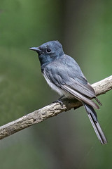 Leaden Flycatcher (Alan Gutsell) Tags: leadenflycatcher flycatcher queenslandbirds queensland federation spit australian australianbird bird nature wildlife canon camera