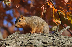 in the oak (christiaan_25) Tags: easternfoxsquirrel sciurusniger squirrel rodent furry fuzzy brown face gaze looking watching home tree oak branch bough leaves colors autumn fall nature animal plant sunshine