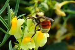 Orange-rumped Bumblebee (Bombus melanopygus) (R-Gasman) Tags: travel nature orangerumpedbumblebee bombusmelanopygus inglewoodbirdsanctuary calgary alberta canada