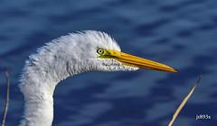 Great Egret (jt893x) Tags: 150600mm ardeaalba bird d500 egret greategret jt893x nikon nikond500 portrait sigma sigma150600mmf563dgoshsms alittlebeauty coth thesunshinegroup sunrays5 coth5