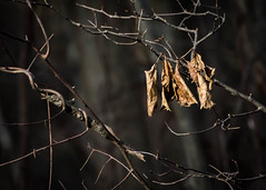 Remainders (Explored) (lclower19) Tags: 119in2019 bedraggled leaves dead 13 explored