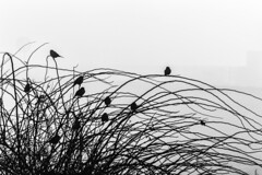 Birds and Branches (jessicalowell20) Tags: birds blackandwhite branches coast estuary fog maine newengland northamerica silhouette winter wiscasset