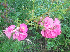 057 (en-ri) Tags: roselline little roses sony verde rosa cespuglio bush sonysti