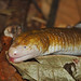 Legless Red-Worm Lizard - Amphisbaena alba. (Despite the large geographic range that this species covers, little is known about its ecology due to its secretive habits) (jaytee27) Tags: leglesswormlizard amphisbaenaalba trinidad naturethroughthelens lizard asawrightcentre