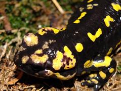 Salamandra salamandra gallaica (R.S. aus W.) Tags: schwarz gelb ampibien salamander feuersalamander salamandra gallaica portugal deutschland germany haltung zucht artenschutz conservation paarung art species