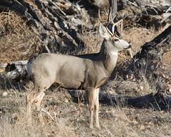 Mule Deer-28 (trdunn) Tags: muledeer colorado weldcounty wildlife animal easternplains nature buck fall antlers