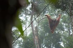 MIC_5266 (Michael Boon Photography) Tags: wildlife animal orangutan borneo sarawak kuching malaysia canon 5dmarkiii 70200 monkey ape forest rainforest jungle green nature natural habitat