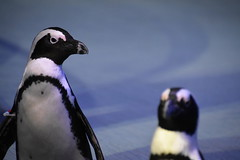 African Pengiun - Georgia Aquarium (Mikon Walters) Tags: african pengiun atlanta georgia aquarium ga usa us america united states nikon d5600 nikkor 18300mm zoom lens photography animal animals birds flipper cute beak creature living things nature