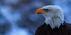 Bald Eagle portrait (Tristan Rayner) Tags: baldeagles christmas2017 raptors theraptors eagle bc british columbia raptor bird prey pnw pacific north west