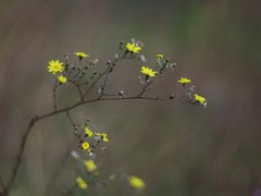 Wild Flower (bamboosage) Tags: meyeroptik oreston 1850 m42