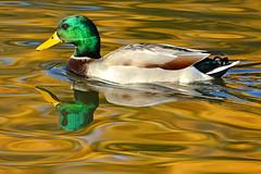 Male Mallard (NaturalLight) Tags: male mallardduck mallard duck autumn chisholmcreekpark wichita kansas