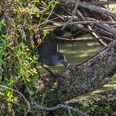 Spotless Crake (Porzana tabuensis) (Keefy2014) Tags: spotless crake porzana tabuensis