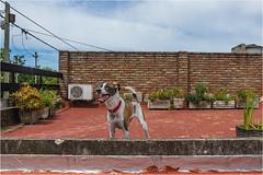 _LMV3104 (Lucio_Vecchio) Tags: delta nikond5500 nikon nikkor mascota retrato friend amigos perros animales naturaleza