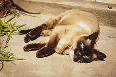 Jazmin (SofiaHotz) Tags: cat gato urban house happy blueeyes jazmin argentina