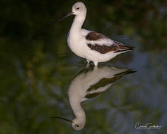 Reflections (craig goettsch - out shooting) Tags: hendersonbirdviewingpreserve2017 americanavocet male bird avian nature wildlife animals nikon d500