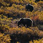 Bears in Silhouette thumbnail
