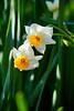初咲き水仙