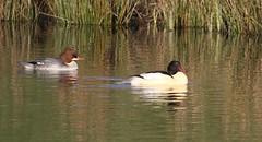 Goosander (Mergus merganser) (Bathgate Wildlife) Tags: bathgate wildlife nature bird mergusmerganser leyland ponds west lothian scotland