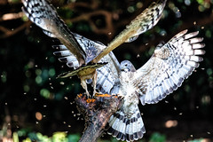 Crested Honey Buzzards (Ben-ah) Tags: bird birdofprey 台灣 蜂鷹 crestedhoneybuzzard orientalhoneybuzzard bees larvae eagle buzzard kites wing honey taiwan travelphotography