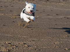 Flying westie (Artybee) Tags: westie westitude west highland white terrier dog fun mablethorpe beach coast