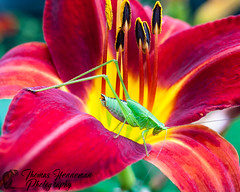 Katydid on Bright Red Flower (Thomas Henneman) Tags: illinois insect antennae batavia but closeup fauna flora flower green kanecounty katydid narrowdepthoffield orange yellow usa