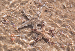 Comb Sea Star (Astropecten polyacanthus) (fisherbray) Tags: fisherbray qatar stateofqatar دولةقطر dawlatqatar alwakrah بلديةالوكرة baladīyatalwakrah khoraladaid khoraludeid khawraludayd خورالعديد inlandsea naturereserve unesco nikon d5000 qatarinternationaladventures qia camp beach desert sanddunes singingdunes persiangulf arabiangulf water wasser combseastar sandsiftingstarfish astropectenpolyacanthus starfish seastar
