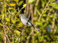 Blue-gray Gnatcatcher (Mike_FL) Tags: bluegraygnatcatcher nikon nikond7500 nature outdor florida floridawildlife bird image photograph flycatcher tamron100400