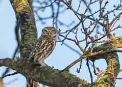 Little Owl - Athene noctua (Gary Faulkner's wildlife photography) Tags: littleowl athenenoctua