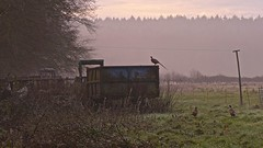 Keeping a look out (Englepip) Tags: pheasants game discarded machinery tractor trailer rust mist trees farm field
