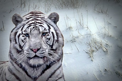 White Tiger (maom_1 (Off, most of the time)) Tags: whitetiger snow texture digital collage photoshop