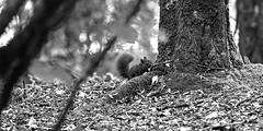 Rouquins des bois (Amanda Hinault - 風流韻事) Tags: ccbysa photobyamandahinault creativecommons animaux animals faune fuji xt1 fujixt1 ecureuil