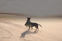 sandstorm? what sandstorm? (RCB4J) Tags: ayrshire ayrshirecoast babygrace clydecoast firthofclyde irvinebeach jakob rcb4j ronniebarron scotland siameselurcher trailhound adventure art beach dogwalkadventures dogs photography sandstorm severeconditions spectactular windy play wrestling contrejour on1