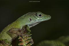 Anolis etheridgei (juan.sangiovanni) Tags: anolis etheridgei endémico endemic española hispaniola