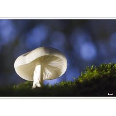 Pilz (horstmall) Tags: mushroom champignon pilz wald forest forèt grabenstetten hochwang erkenbrechtsweiler blau blue bleu hutpilz toadstool schwäbischealb jurasuabe swabianalps horstmall