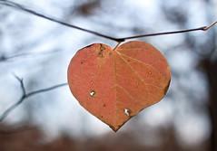 (Photocalle) Tags: fs181111 november fotosondag heart leaves göteborg botaniska forest