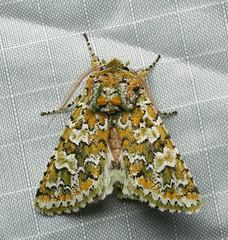(Tony P Iwane) Tags: lepidoptera mothing feraliafebrualis feralia moth insect ebrpd ebrpdok eastbay contracostacounty