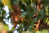 Hoernchen-2018-4399.jpg (Joachim Dobler) Tags: eichhörnchen eichhoernchen squirrel écureuil ardilla scoiattolo esquilo nature natur nagetier maple esquito wildlife animal cute naturephotography squirrellove wildlifephotography bestsquirrel nutsaboutsquirrels cuteanimals