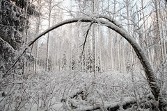 Bent Tree in Winter (Digikuvaaja) Tags: finland arch background bent birch branch christmas cold covered curved day dreamy forest frost hanging ice landscape nature peaceful season sky snow snowy tree trees trunk white winter winterforest winterstorm wintertime wintry wonderland woods wrapped hämeenlinna tavastiaproper fi