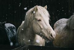 White horse (MakiEni777) Tags: horse snow japan winter hokkaido face