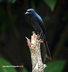 IMG_0390 Ashy Drongo (Dicrurus leucophaeus) (vlupadya) Tags: greatnature bird animal aves fauna indianbirds ashy drongo dicrurus kundapura karnataka