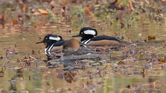 Hooded merganser (Lophodytes cucullatus) (Tony Varela Photography) Tags: canon hoodedmerganser merganser photographertonyvarela home