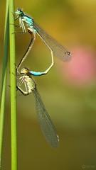 Blue-tailed Damselflies - Ischnura elegans (Visual Stripes) Tags: damselfly mating insect invertebrate nature olympusepm1 microfourthirds mft m43 sigma105mm macro f28 bokeh