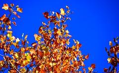 Sur fond d'azur (Diegojack) Tags: vaud suisse saintsulpice paysages d500 nikon nikonpassion couleurs jaune automne saison cuiel bleu
