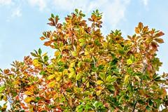 Leaves in Pastel (pmorris73) Tags: arboretum pennstateuniversity statecollege pennsylvania century 2cee 3cee 4cee 5cee 6cee 7cee 8cee 9cee 1ka1119