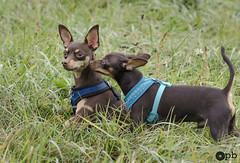 Tu me donne un bisou Nestor ! (Philippe Bélaz) Tags: nestor ooligan pragois ratierdeprague animal animaux animauxdecompagnie automne balades chien famille