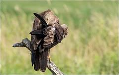 Aigle criard / Greater Spotted Eagle (denismichaluszko) Tags: aiglecriard greaterspottedeagle birdofprey rapace oiseau wildlife birdlife bokeh couleurs sauvage