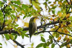 DSCF6134 (jojotaikoyaro) Tags: bird animal nature wildlife suginami tokyo japan fujifilm xh1 xf100400mm