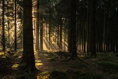 forest series #172 (Stefan A. Schmidt) Tags: warstein nordrheinwestfalen deutschland de germany sunrise goldenhour sunbeam sunbeams tree trees forest