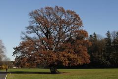 Herbstliche Eiche (Rolf Eisenkolb) Tags: eiche grassau