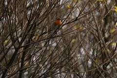 IMG_5121 (monika.carrie) Tags: monikacarrie robin wildlife scotland aberdeen